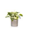 devil's ivy houseplant