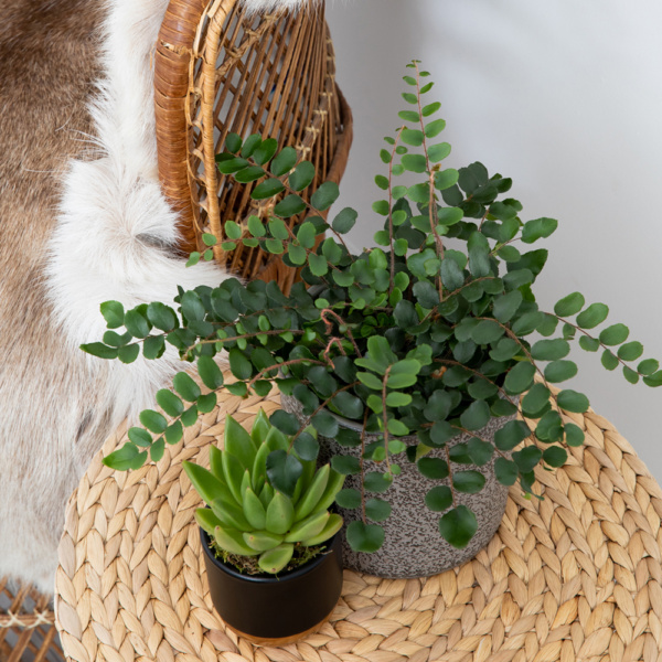 Button fern plant in grey pot next to green succulent in black and gold pot on wicker mat