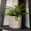Peperomia Rotundifolia houseplant