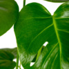 Close up of monstera leaves