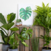 large fiddle leaf fig, swiss cheese plant, sansevieria snakey, yucca and boston fern with a hoya kerrii and aloe succulent