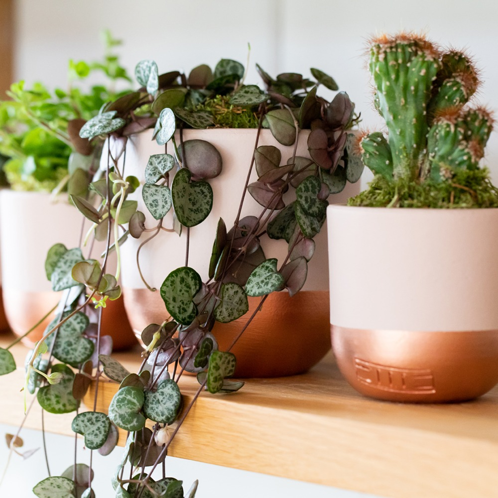 small trailing plant and succulents on a shelf