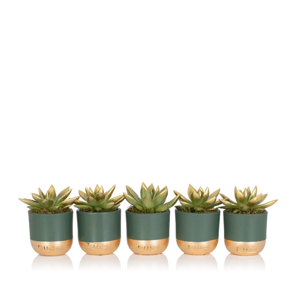 Row of five gold tipped miranda succulents all in little green and gold pots