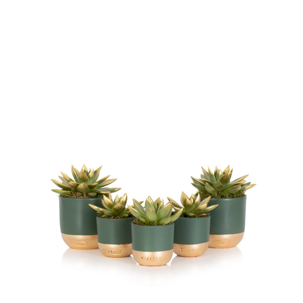 Group of gold tipped miranda succulents in gold and green tipped pots