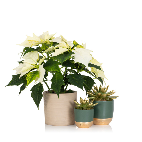 White poinsettia with a min and medium gold tipped miranda plant