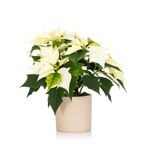White Poinsettia in Almond Stoneware Ceramic