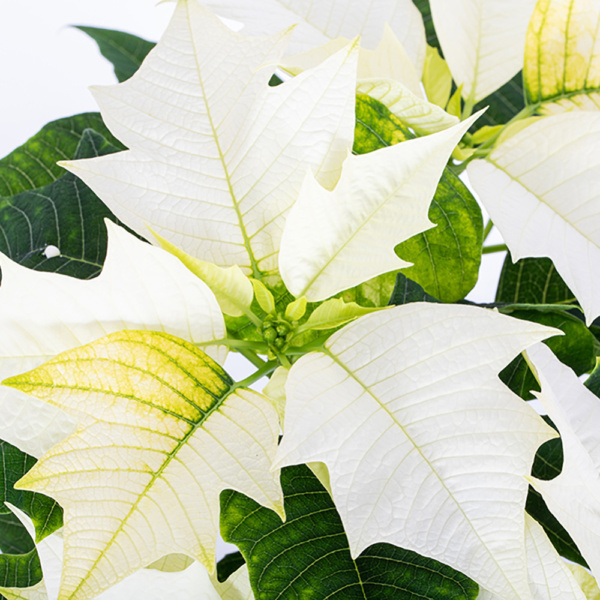 Close up of white poinsettia leaves