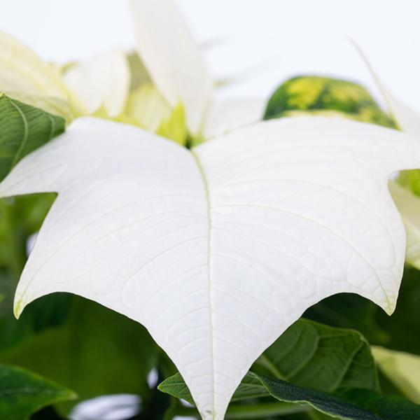 Close up of white poinsettia