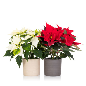 Red and white poinsettias in pots