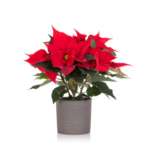 Red poinsettia in grey ceramic pot