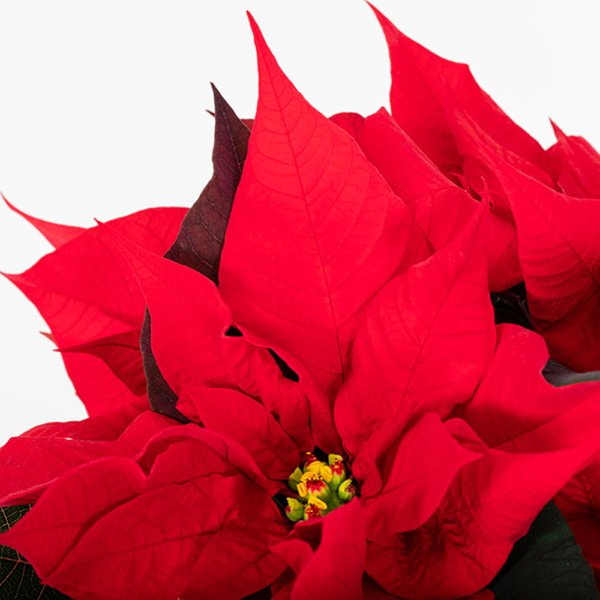 Close up of red poinsettia leaves