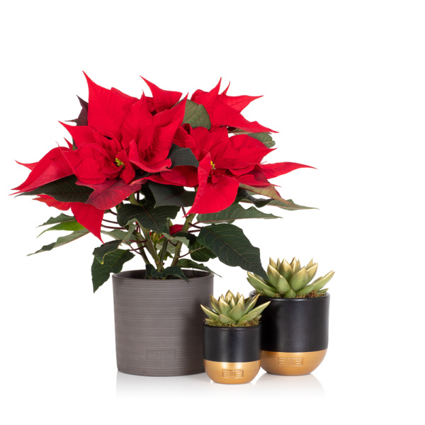 Red poinsettia in grey pot next to two gold-tipped succulents in gold and black pots