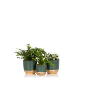 Trio of mini leafy succulents in green and gold dipped pots