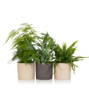 Three different types of fern plants in pots