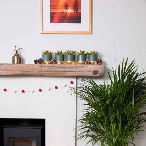 Five green miranda succulents in green and gold pots on a fireplace with fairy lights