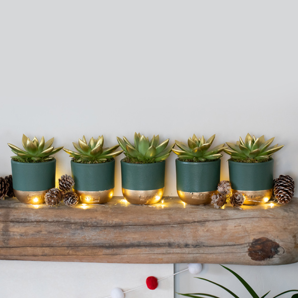 Five green miranda succulents in green and gold pots on a shelf with fairy lights