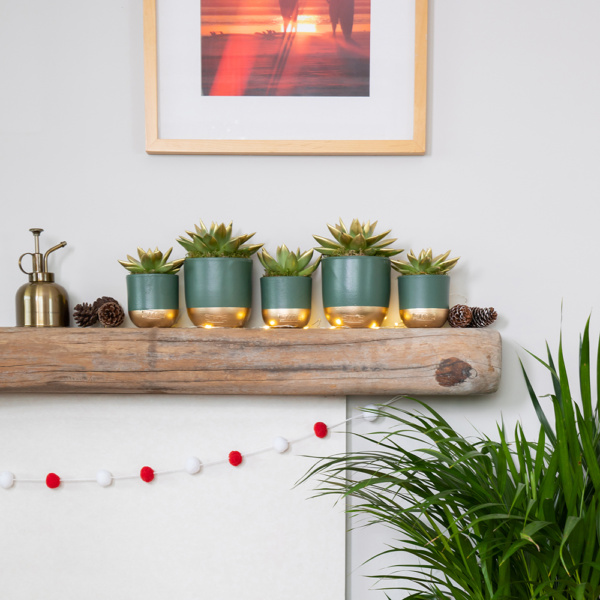 Christmas shelf of gold tipped miranda succulents with fairy lights below