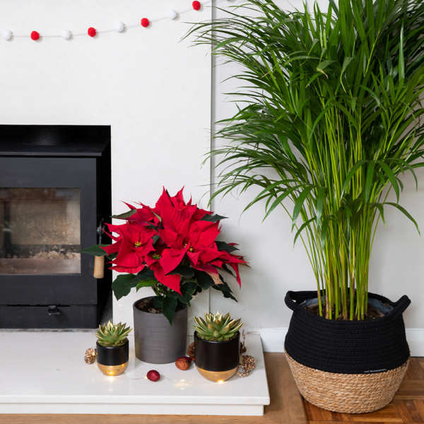 Red poinsettia in grey pot next to two gold-tipped succulents in gold and black pots on a fireplace with a large palm next to this