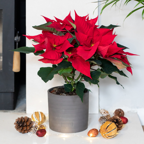 Red poinsettia in grey ceramic pot on fireplace next to Christmas decorations