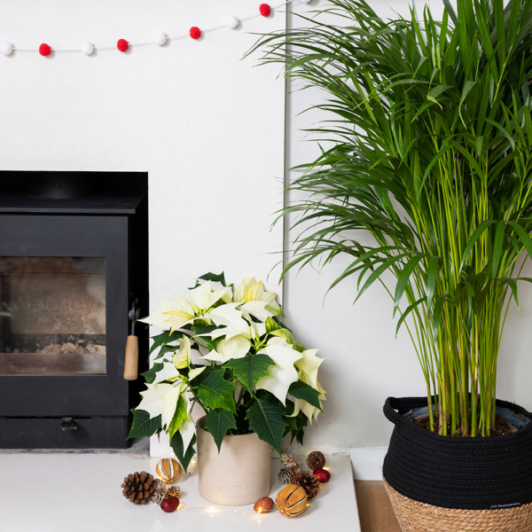 White poinsettia in almond stoneware ceramic next to a fireplace and large palm plant