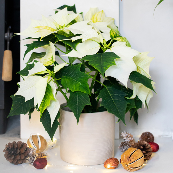 White poinsettia in almond stoneware ceramic next to a fireplace