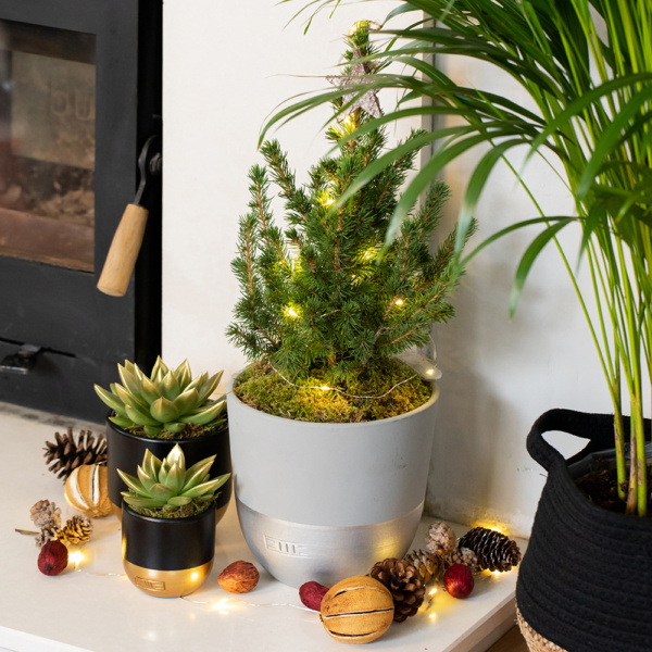 Potted medium Christmas Tree with two gold and black succulents with gold-dipped leaves on fireplace with christmas decorations
