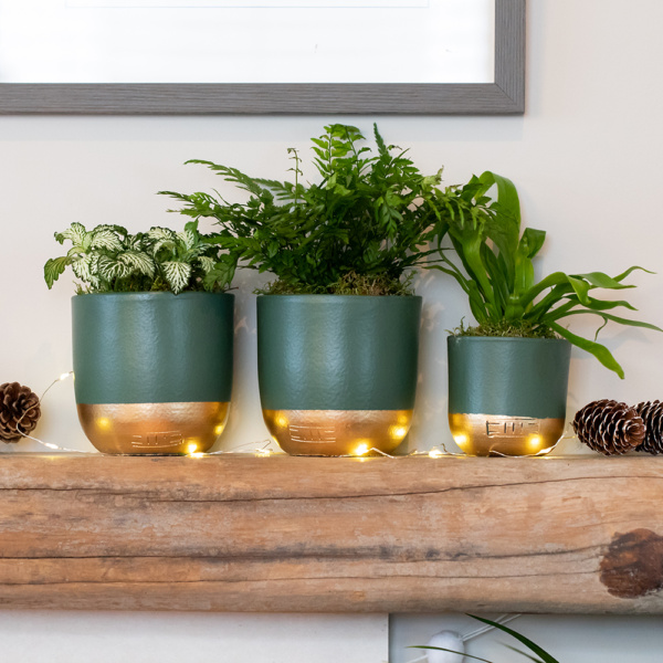 Trio of mini leafy succulents in green and gold dipped pots on shelf with fairylights