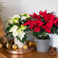 Red and white poinsettias on sideboard with pinecones and natural Christmas decorations