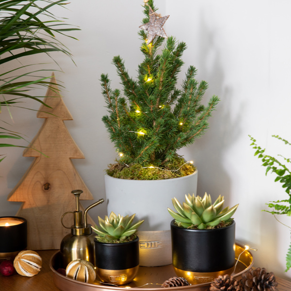 Potted medium Christmas Tree with two gold and black succulents with gold-dipped leaves on tray with Christmas decorations