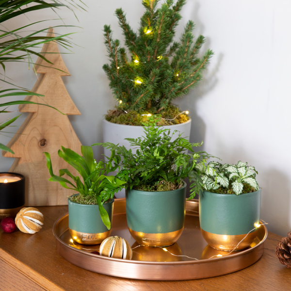 Trio of mini leafy succulents in green and gold dipped pots on tray with pinecones