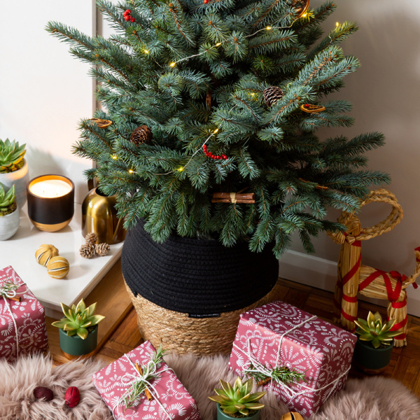 Baby Blue Christmas tree in two tone belly basket