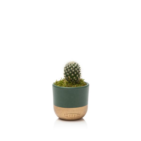 mini cactus succulent