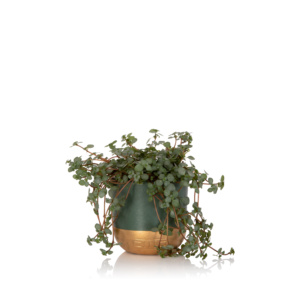 pilea glauca plant in small green and gold pot