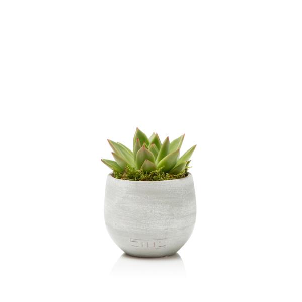 Miranda succulent in a grey ceramic pot