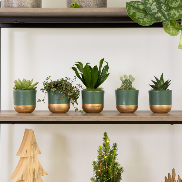 shelf of five succulent plants all in green and gold pots
