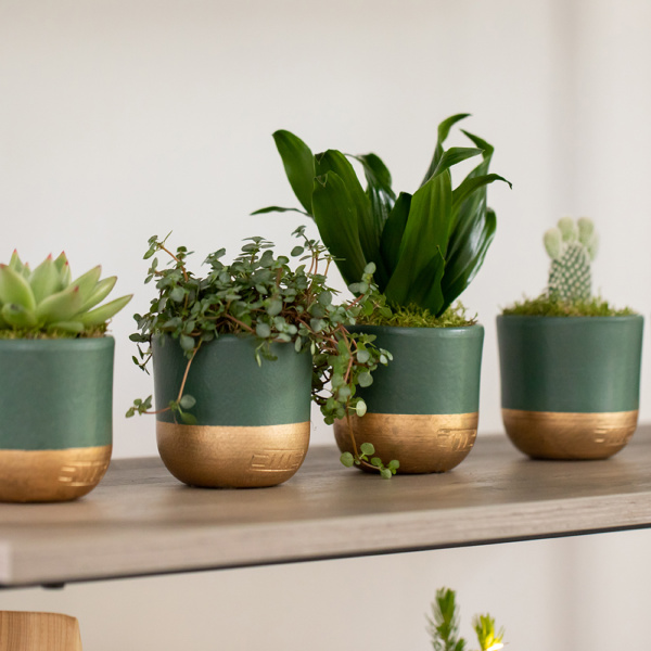shelf of four small green plants in green and gold pots