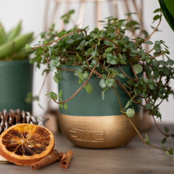 pilea glauca plant in green and gold pot next to dried orange slices and cinnamon sticks