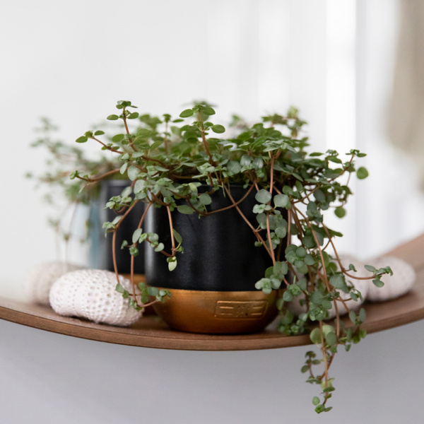 trailing pilea glauca plant on a shelf next to some pebbles